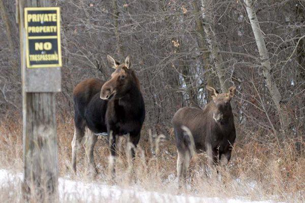 photo shows two moose in the Municipality of Oakland-Wawanesa (photo Glen Kirby)